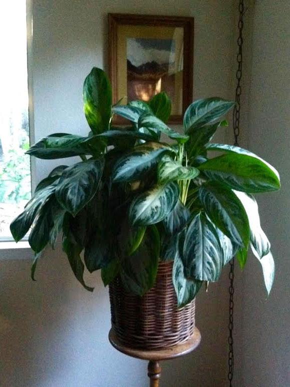 Indoors Garden Growing tropical plants indoors garden compass aglaonema abidjan workwithnaturefo